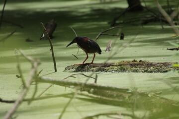 Fototapeta premium Green Heron