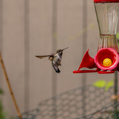Fototapeta premium Hummingbird(s) enjoying the safe space to rest and check out the fresh food source.Beautiful, cautious birds. See photos in series.