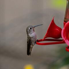 Fototapeta premium Hummingbird(s) enjoying the safe space to rest and slurp some stove-top goodness.