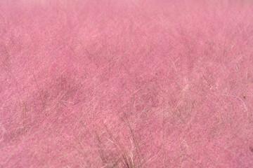 경기도 의왕 핑크뮬리 풍경