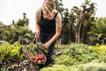 Obraz Female gardener picking fresh kale from a vegetable garden - fototapety do salonu