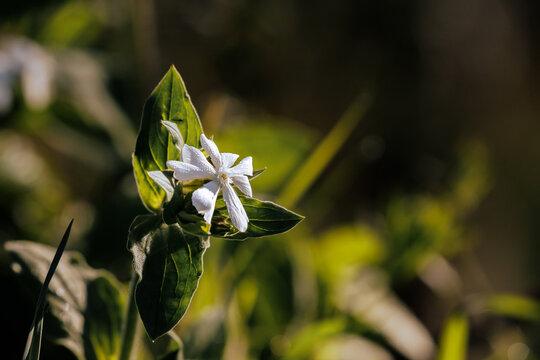 """Silene latifolia or Broadleaf Silenus or """"white companion"""""""