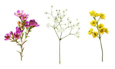 Fototapeta Set of small sprigs of yellow flowers of berberis thunbergii, pink chamelaucium and white gypsophila isolated obraz