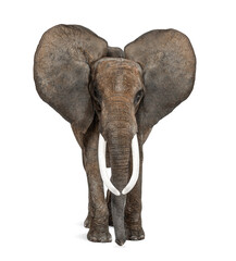 African elephant standing in front, ears up, isolated on white, image remastered