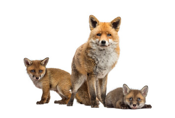 Fototapeta premium Seven weeks old fox cubs and they mother together, isolated on white