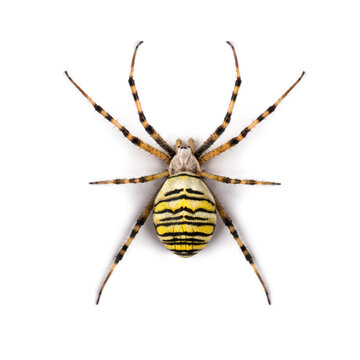 Wasp spider viewed from up high, Argiope bruennichi, isolated on