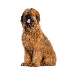 Panting Fawn Briard dog sitting in front, isolated on white
