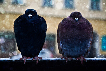Obraz gołębie - fototapety do salonu