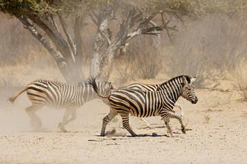 Fototapeta premium Alert plains zebras (Equus burchelli) running on dusty plains, South Africa.