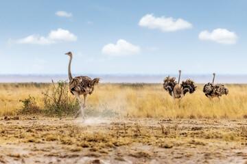 Masai Ostrich in Kenya Africa