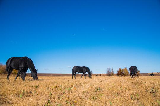 Horses graze under a clear sky