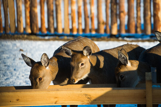 Spotted deer on an animal farm in winter