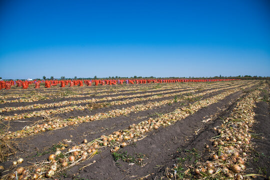 Field with onions for harvest