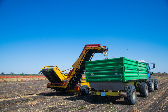 Harvesting onions with the help of an agricultural combine