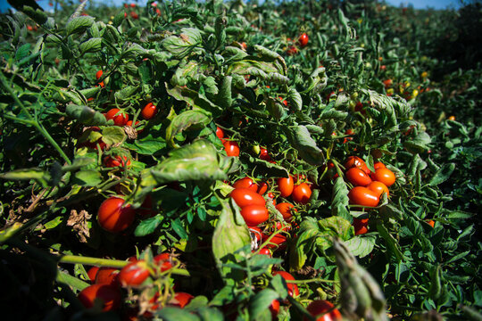 Growing tomatoes in the field