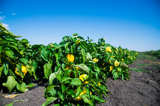 Vegetable rows of pepper grow in the field