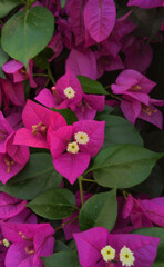 Obraz pink and yellow flowers - fototapety do salonu