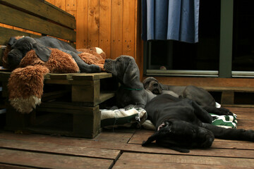 Fototapeta szczeniak pies dog niemiecki stado miot obraz