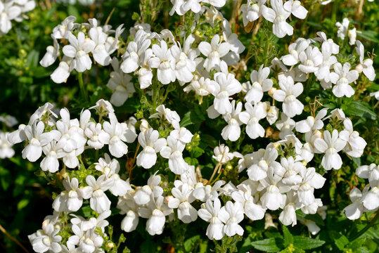 Background of white lobelia flowers