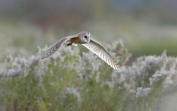 Flying Barn owl