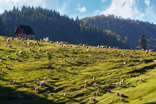 flock of sheep grazing in mountains. sunny nature scenery in apuseni natural park of romania