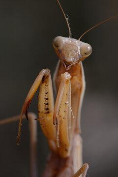 Female European mantis (Mantis religiosa)