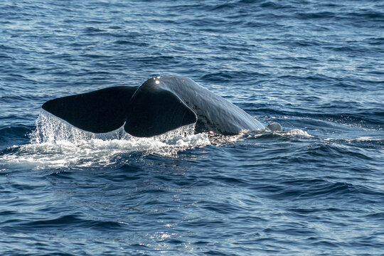 Sperm Whale tail while going down at sunset