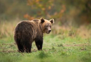 Wild brown bear ( Ursus arctos ) in autumn forest