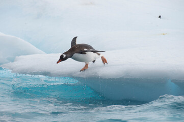 Gentoo Penguins jumping to the water from ice