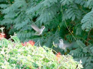Fototapeta premium 2 hummingbirds together