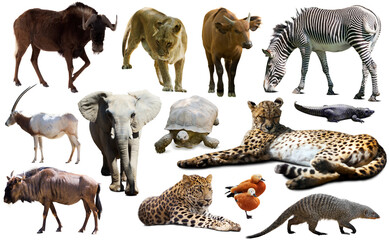 Fototapeta premium Collage with African mammals and birds isolated over white background