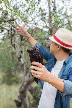 Farmer holding in hands ripe carob pods during harvesting season