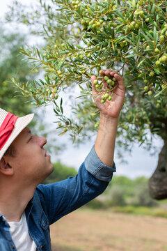 Farmer checking olive tree during harvesting season