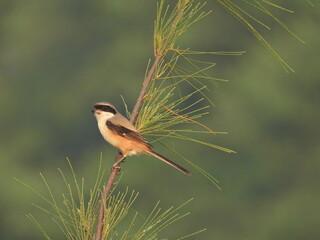 Fototapeta premium Long tailed shrike