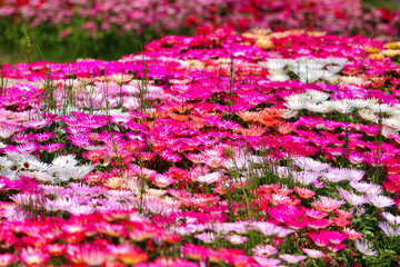 Livingstone Daisy Kuju Flower Park