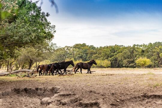 Beautiful brown wild horses
