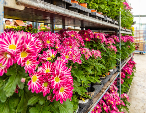 Chrysanthemums plants with beautiful pink flowers