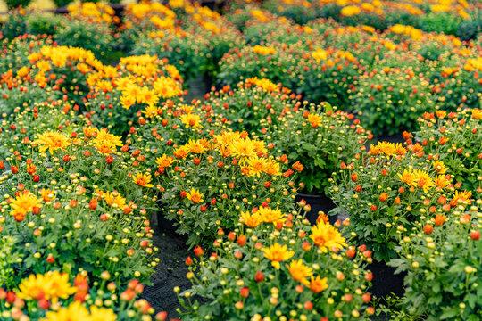 Chrysanthemums in the plantation nursery
