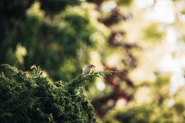 Fototapeta premium Shallow focus shot of a tiny beautiful bird sitting on a pine branch.