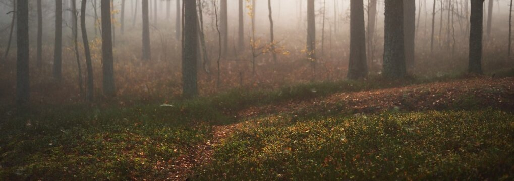 Pathway through the majestic evergreen pine forest in a fog. Soft sunlight, sunbeams. Panoramic view