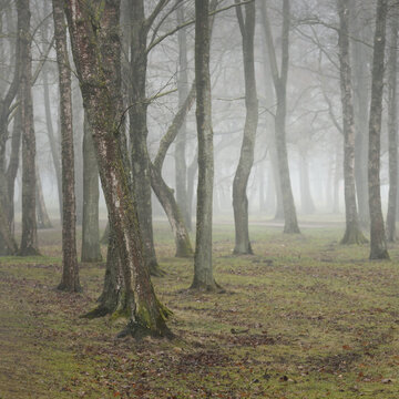 Overcast day in a forest park. Autumn colors, fog, mist. Mighty trees, dry plants, green grass, moss, golden leaves. Early spring. Dark atmospheric landscape. Nature, environmental conservation