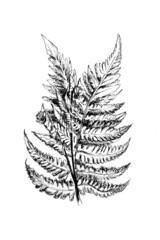 Obraz Rysunek paproć czarno biały - fototapety do salonu