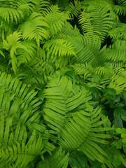 Fresh green foliage of fern - beatiful in a garden. light green leaves