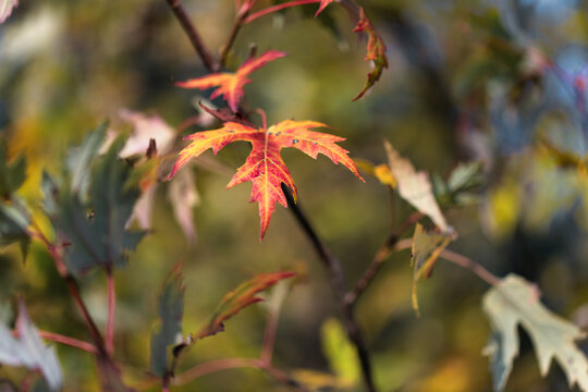 Yellow and red leaf on small branch in autumn.