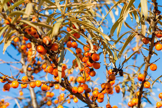 Ripe sea buckthorn berries on a branch. Sea buckthorn oil is used in medicine and cosmetology, it is a part of lotions, ointments, medicines. Selective focus, bokeh.