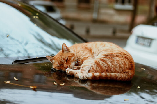 Autumn photo of a ginger cat. The cat sleeps in a black car on the street in the autumn.