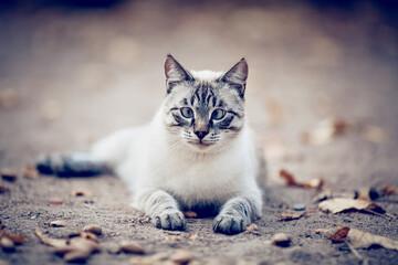 Portrait of a Thai cat in nature. A Thai cat walks in autumn leaves. Cat and autumn.