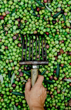 man has a comb-like tool to collect olives