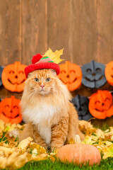 Adult maine coon cat wearing warm hat lying on autumn grass with pumpkin. Empty space for text