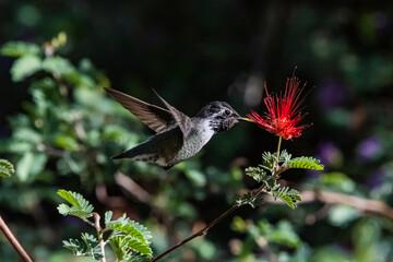 Fototapeta premium Costa's Hummingbird (Calypte costae) With Pin Feathers Feeding on a Baja Fairy Duster Bloom